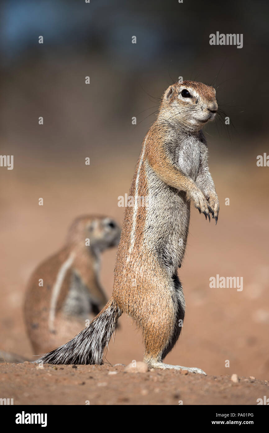 Ground squirrel (Xerus inauris), Kgalagadi Transfrontier Park, Northern Cape, South Africa - Stock Image