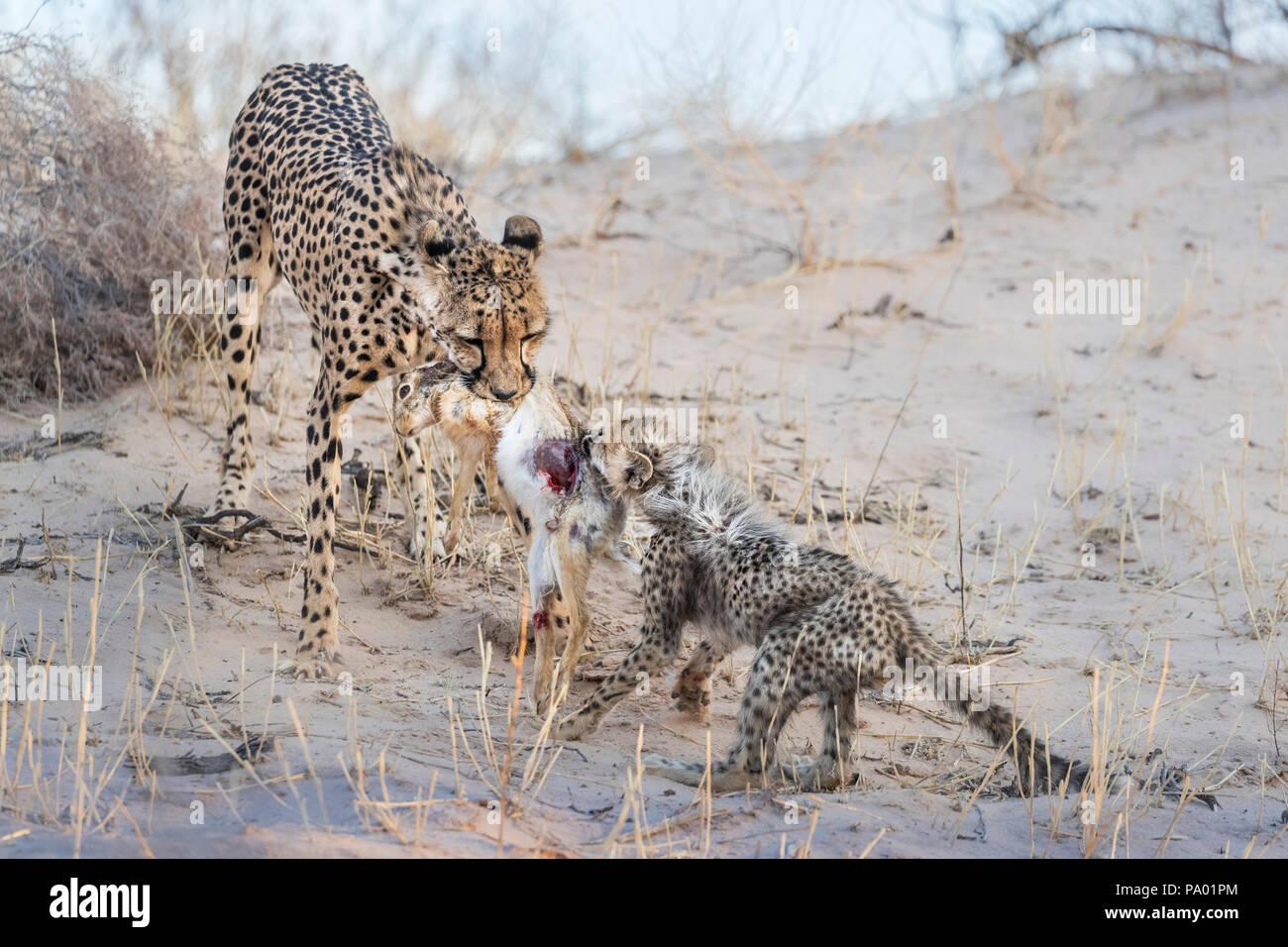 Cheetah (Acinonyx jubatus) and cub feeding on scrub hare (Lepus saxatilis), Kgalagadi transfrontier park, South Africa Stock Photo