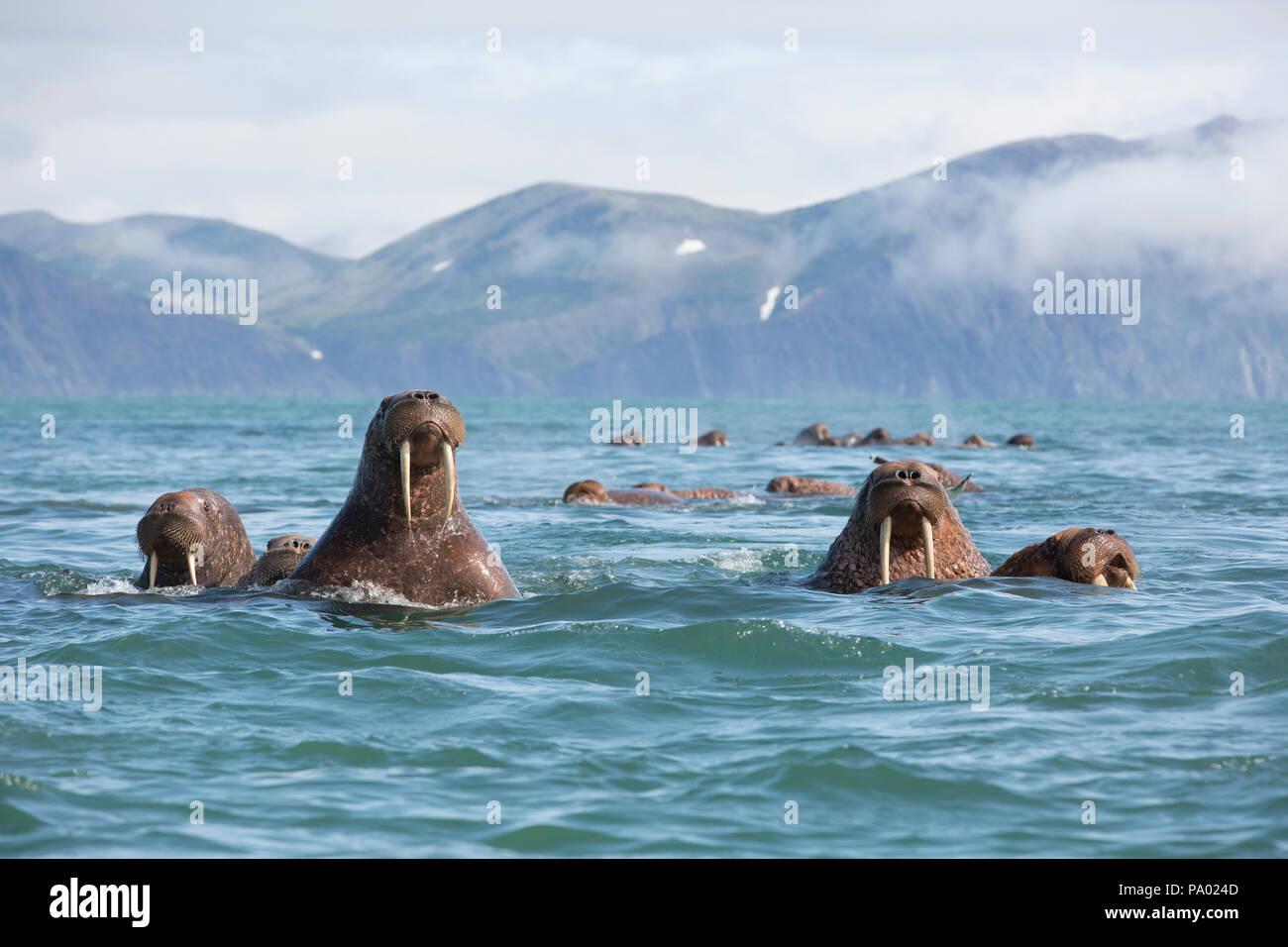 Pacific Walrus (Odobenus rosmarus divergens), Kamchatka, Russia - Stock Image
