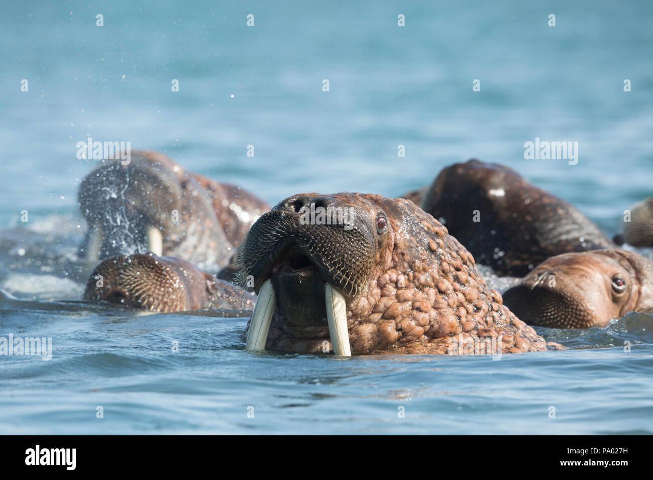 Pacific Walrus (Odobenus rosmarus divergens), Kamchatka, Russia Stock Photo