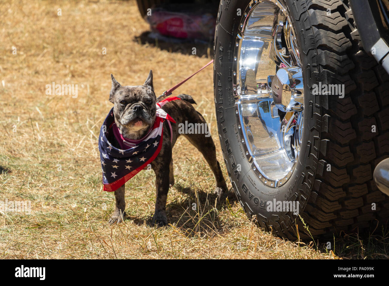 angry French bulldog with confederate neckerchief next to classic American car - Stock Image