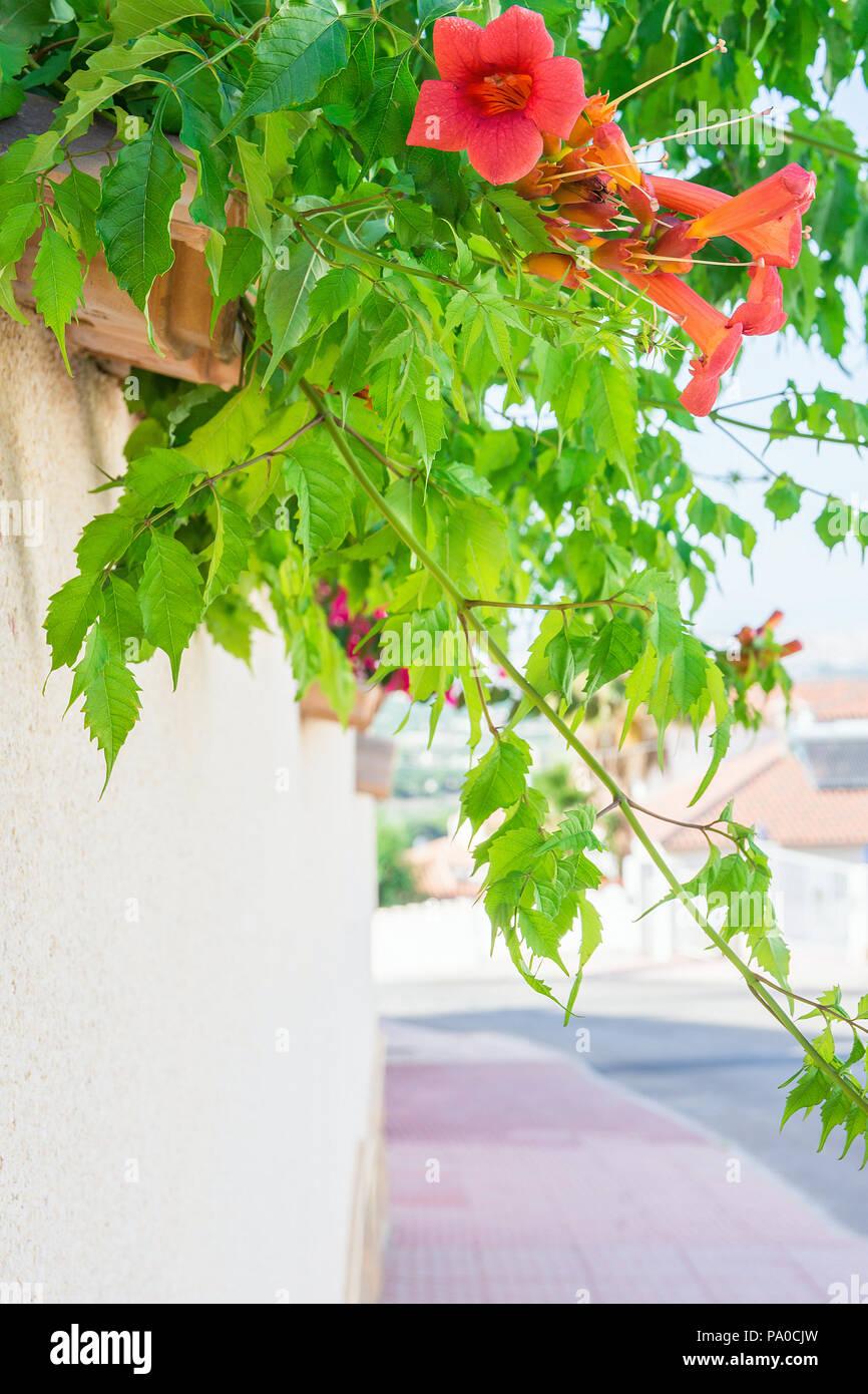 Beutiful Blooming Flowering Vines With Red Flowers Green Leaves