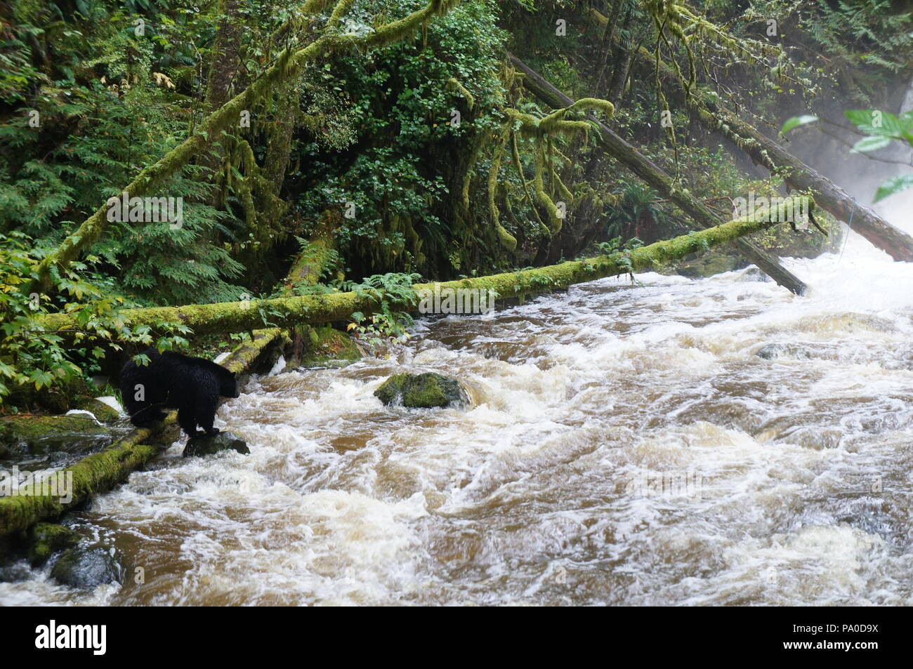 Black bear fishing for salmon beside a raging river, with moss-laden fallen trees in the rain forest near Ucluelet, British Columbia, Canada - Stock Image