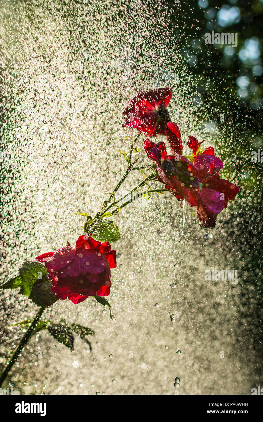 Watering Spray Garden hosepipe sprinkler droplets illuminated in dramatic shaft of late afternoon sunshine spraying water onto backlit red roses in verdant sunlit garden - Stock Image