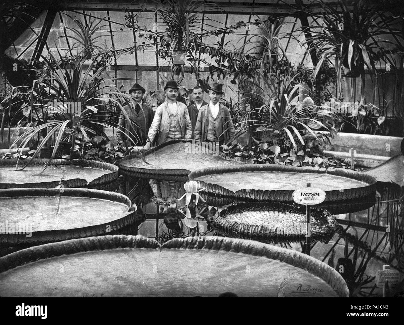 684 Füvészkert, Viktória-ház, virágzó amazóniai tündérrózsák. Fortepan 17536  - Stock Image