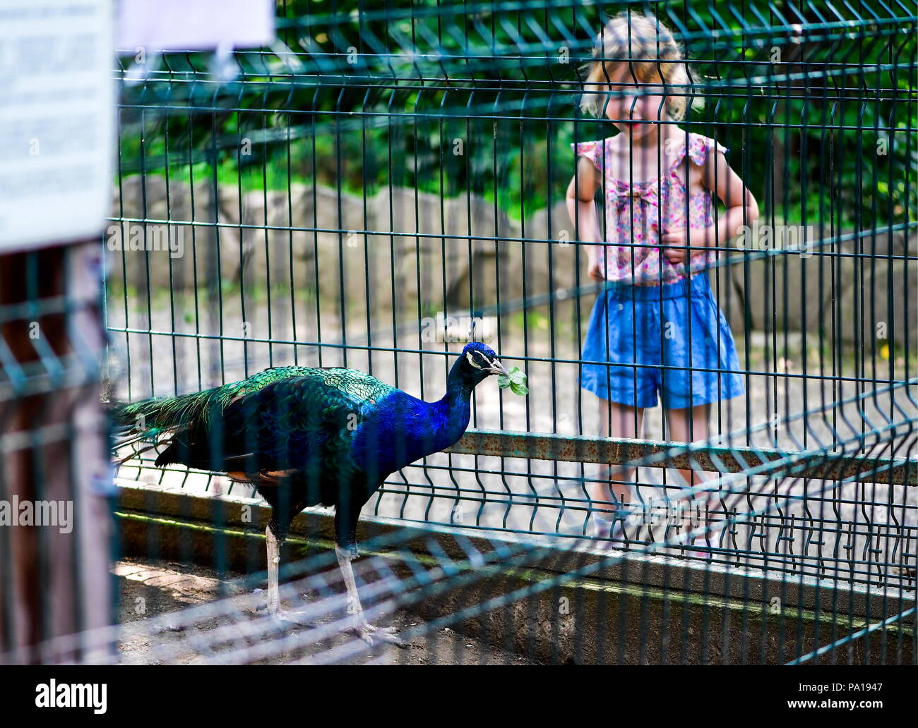 Vladivostok, Russia. 20th July, 2018. VLADIVOSTOK, RUSSIA - JULY 20, 2018: A girl looks at a peacock in an enclosure at the Sadgorod zoo. Yuri Smityuk/TASS Credit: ITAR-TASS News Agency/Alamy Live News - Stock Image