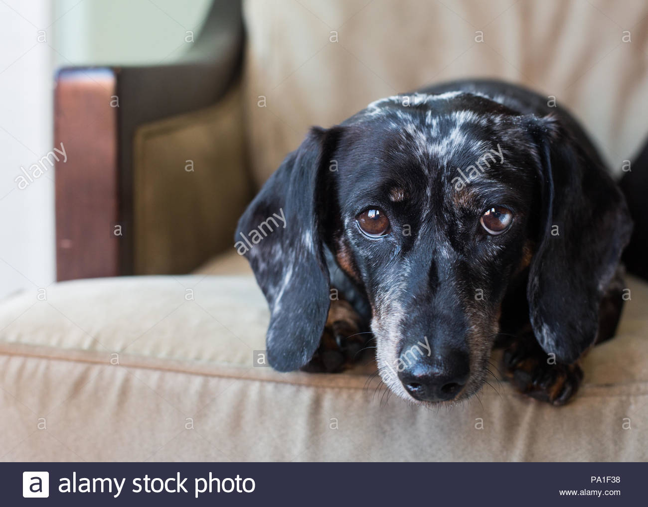 Cute miniature dachshund on couch with plaintive expression looking at camera - Stock Image