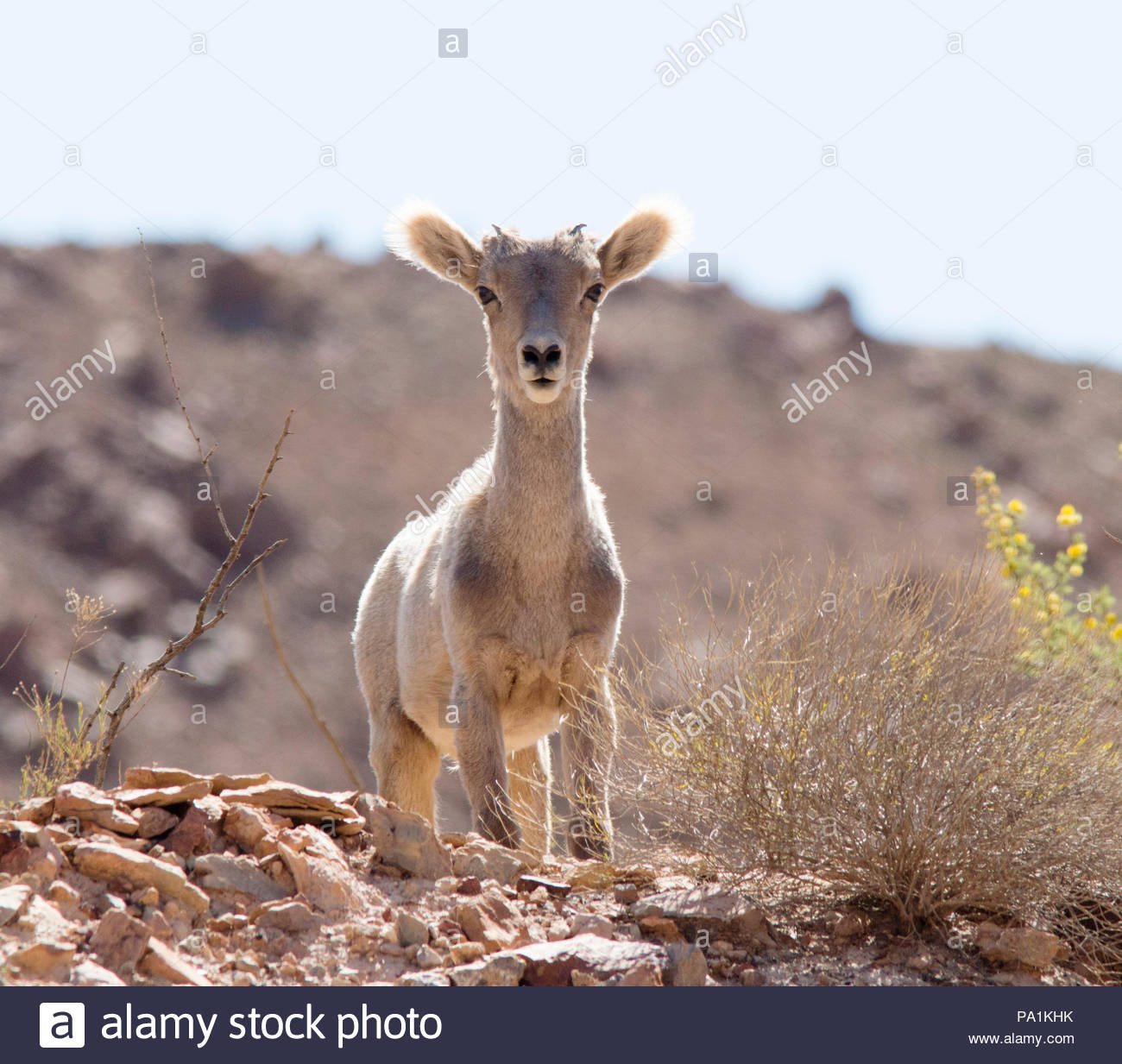 rocky-mountain-bighorn-ovis-canadensis-lamb-in-arizona-usa-PA1KHK.jpg
