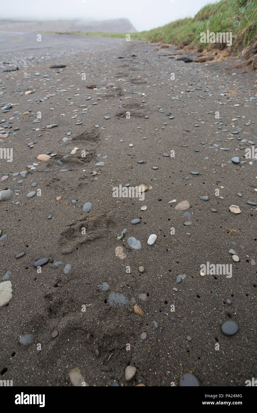 Large Brown Bear tracks on a beach in Russia - Stock Image