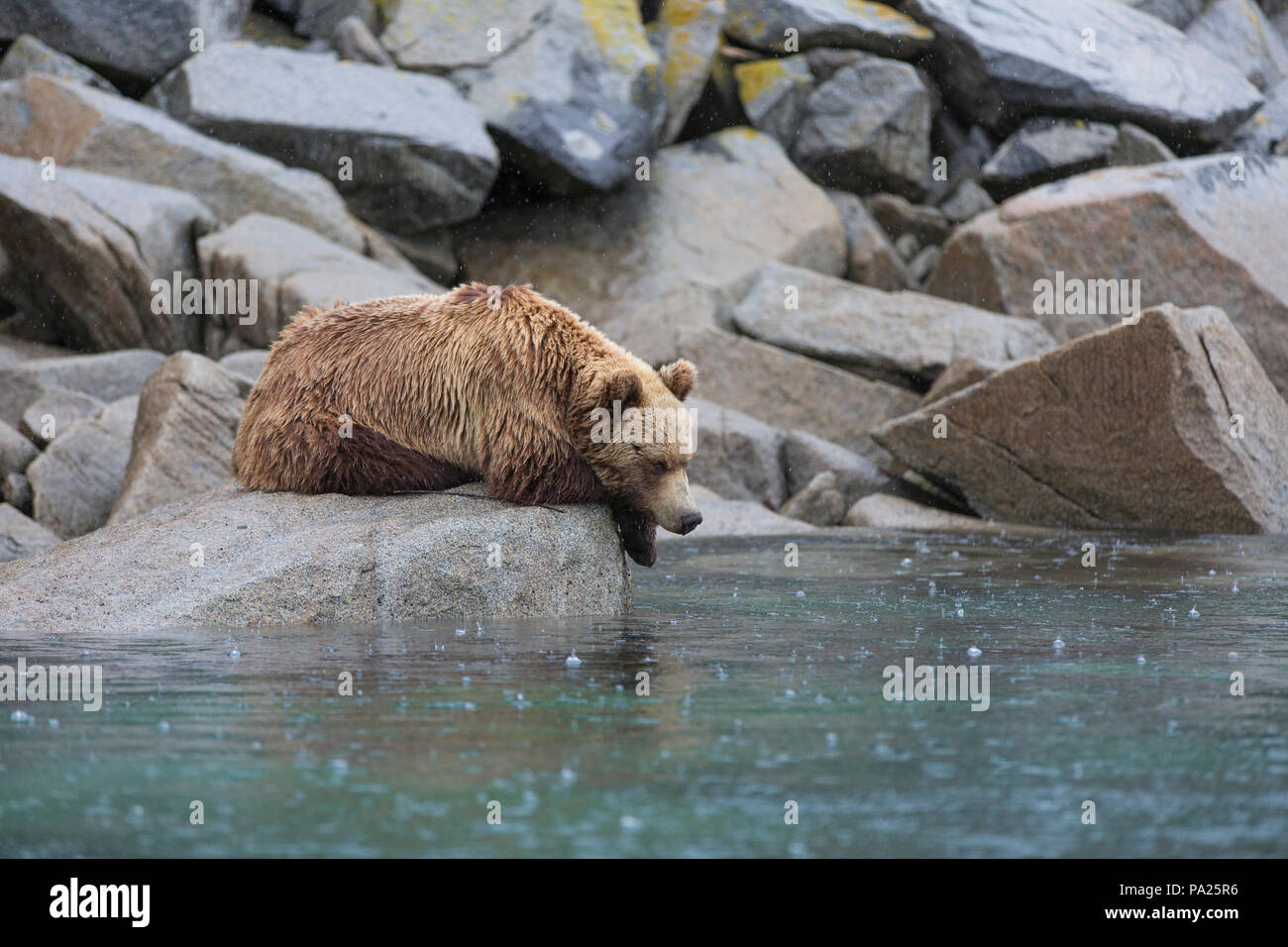 One Kamchatka brown bear (Ursus arctos beringianus) on the coastline of Eastern Russia - Stock Image