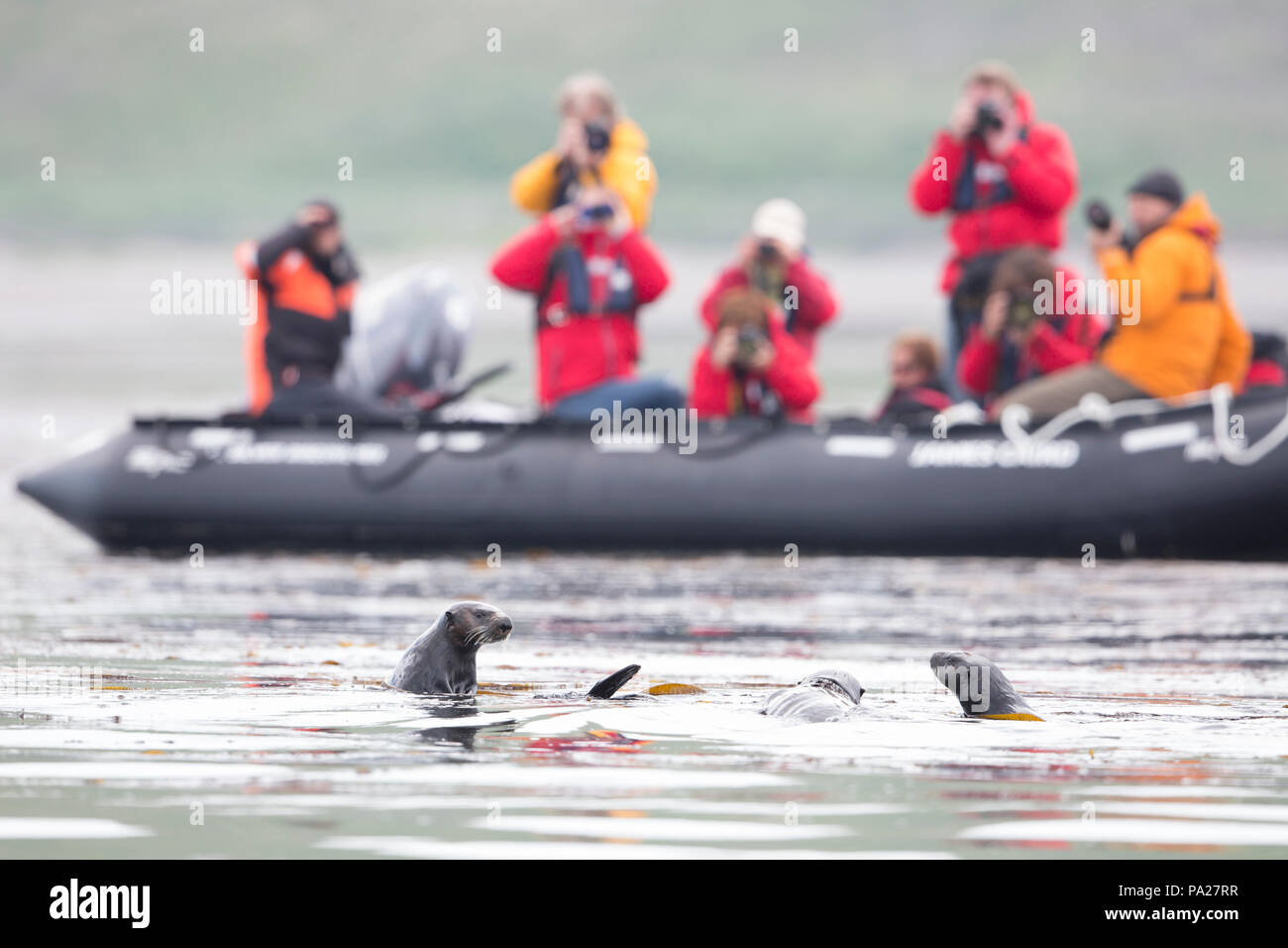 Tourists viewing Sea Otters in the wild from a zodiac - Stock Image