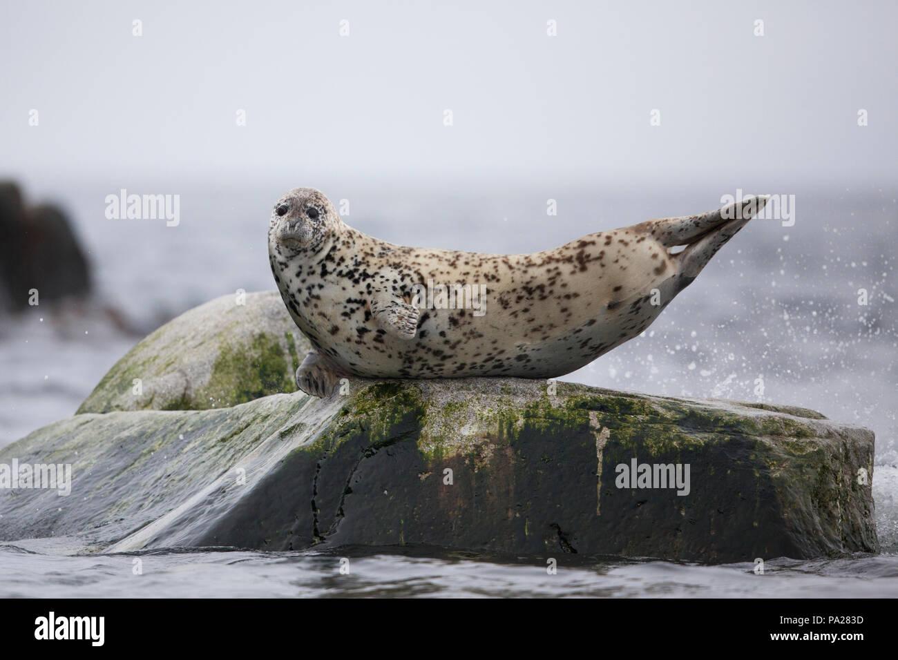 Spotted Seal (Phoca largha), Sea of Okhotsk - Stock Image