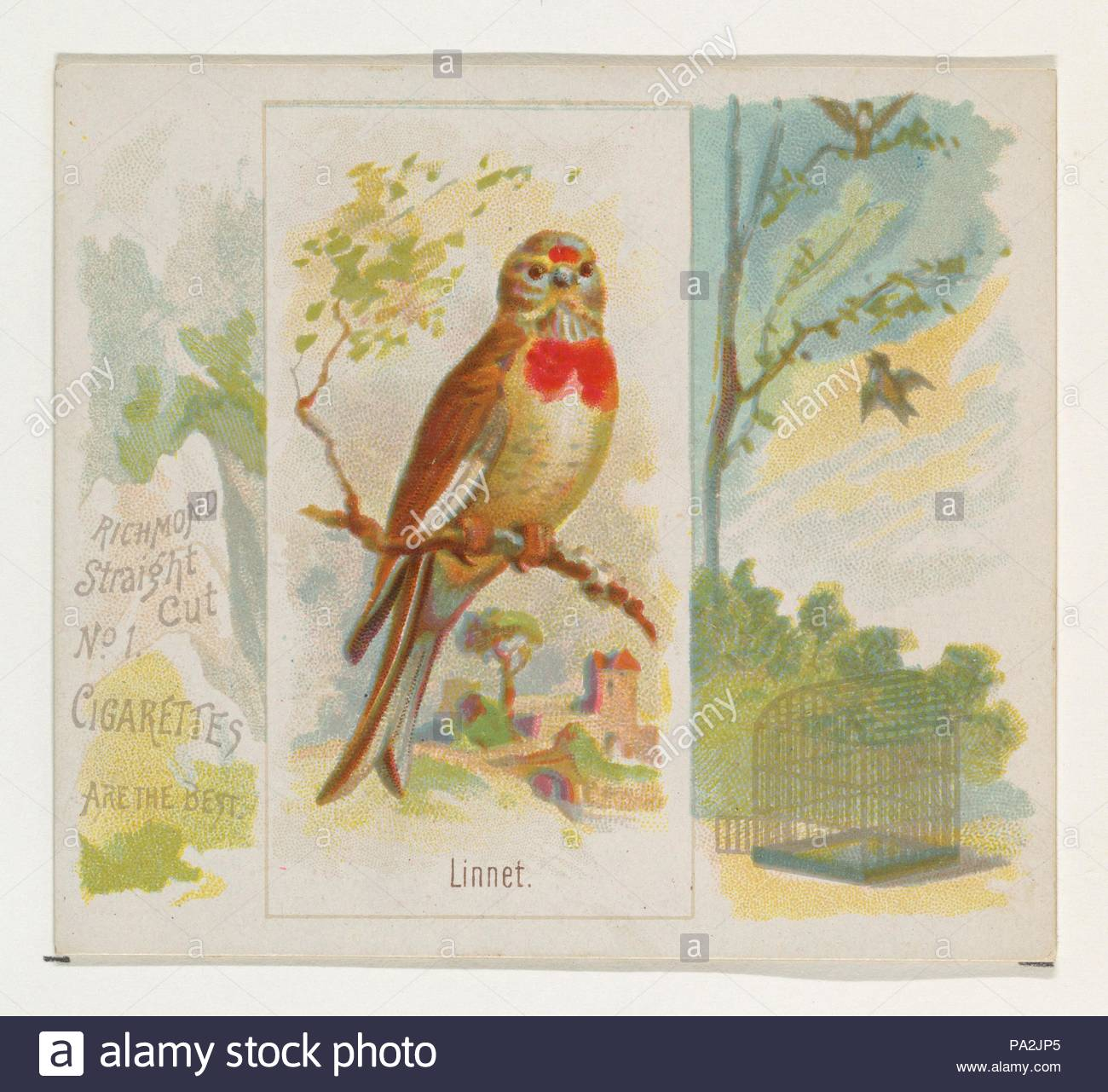 Linnet From The Song Birds Of The World Series N42 For Allen