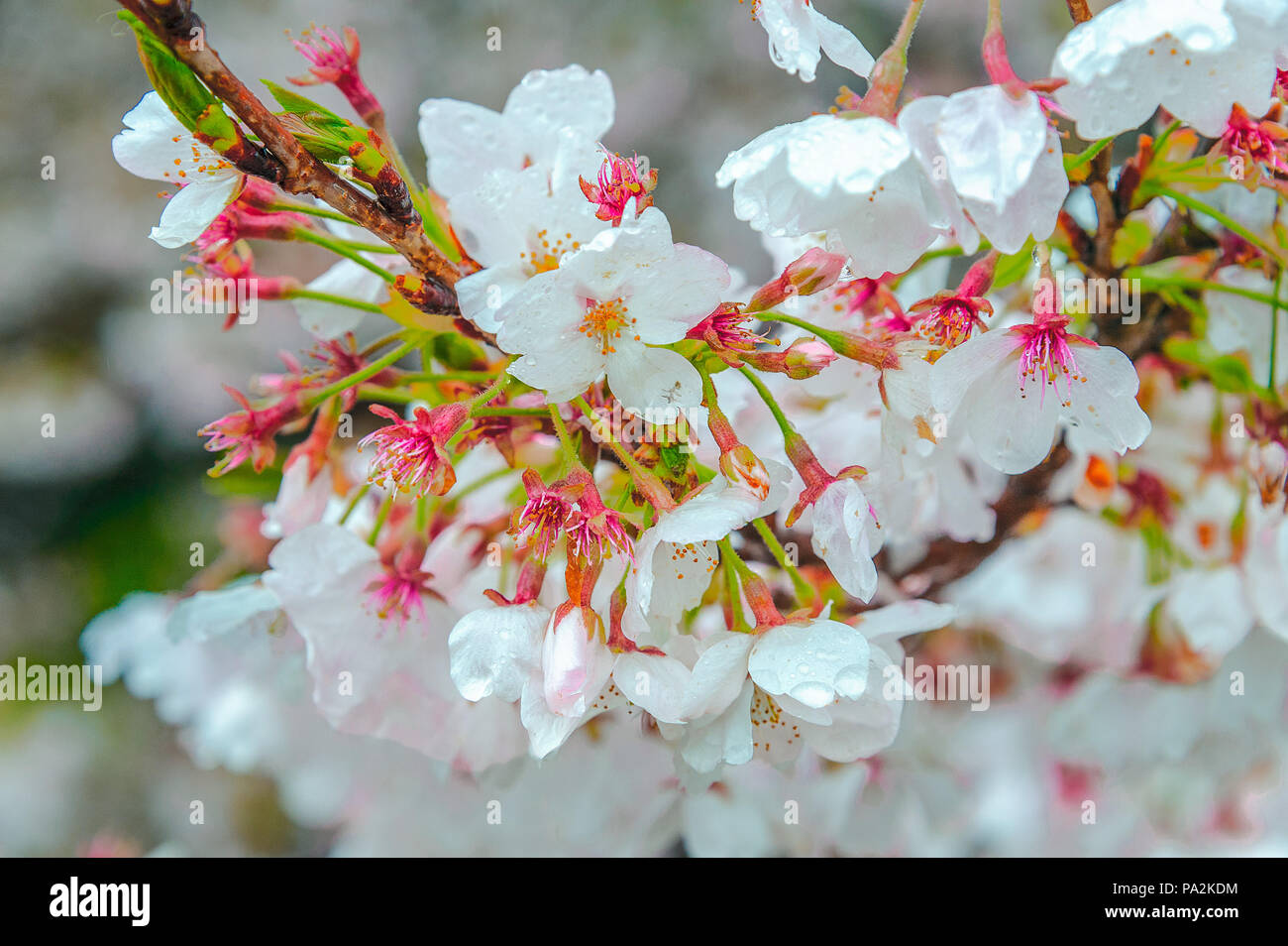 National flower of japan stock photos national flower of japan sakura a beautiful japanese cherry blossom blooms in april bright pink flower with paper mightylinksfo