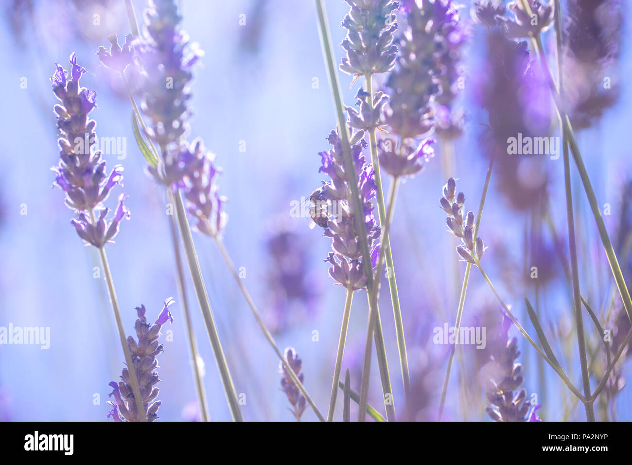 Gentle lavender flowers, little tender purple wildflowers on the field, abstract floral wallpaper, fresh and beauty of summer nature - Stock Image