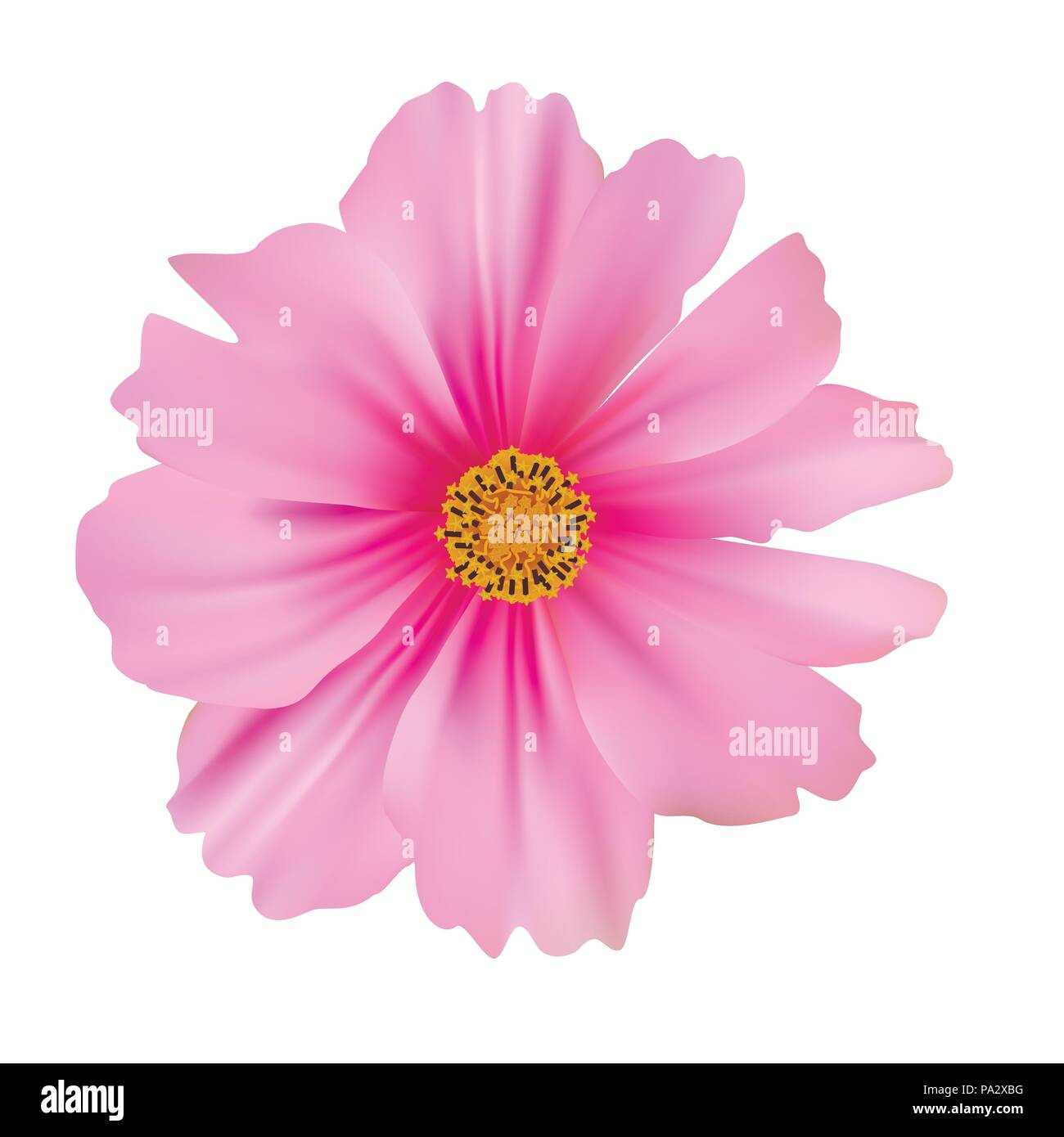 Cosmos flower isolated on white background - Stock Vector