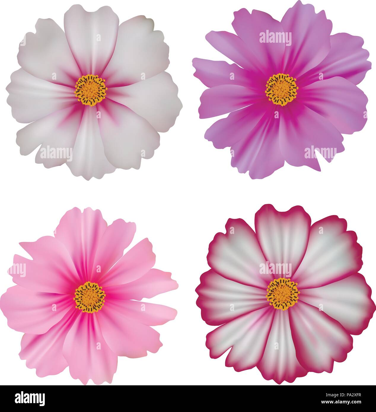 Set of cosmos flowers isolated on white background - Stock Vector