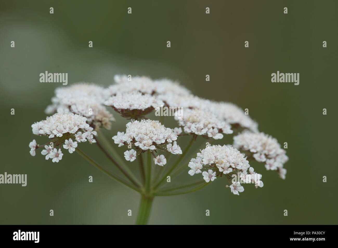 Oenanthe lachenalii (Parsley Water-dropwort) Stock Photo