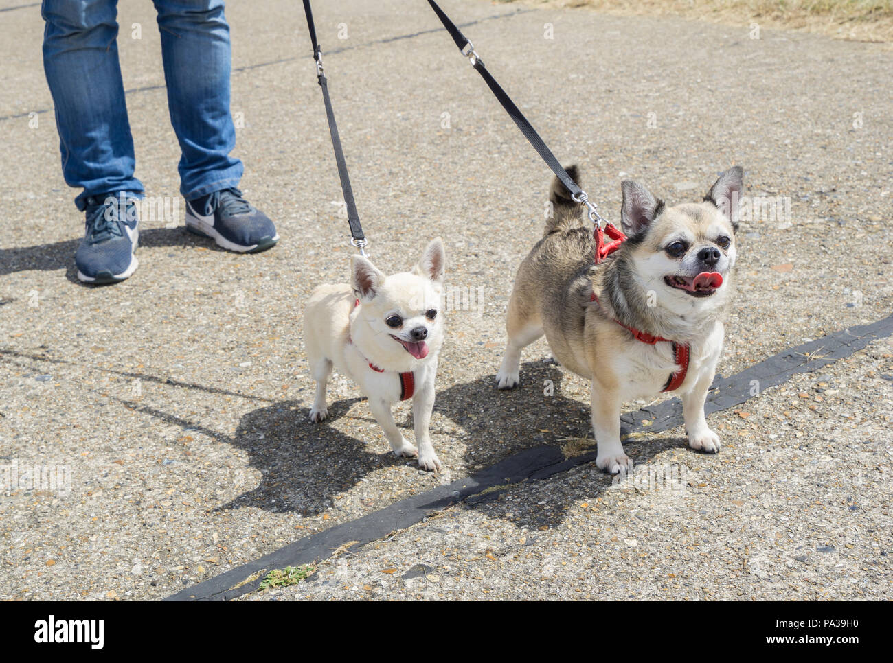 Two Chihuahua dogs on leads at Wings and wheels - Stock Image