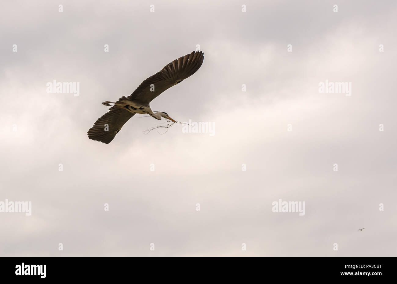 Grey heron (Ardea cinerea) flying in the cloudy sky with twig for nest weaving in her beak. This is a long-legged predatory wading bird - Stock Image