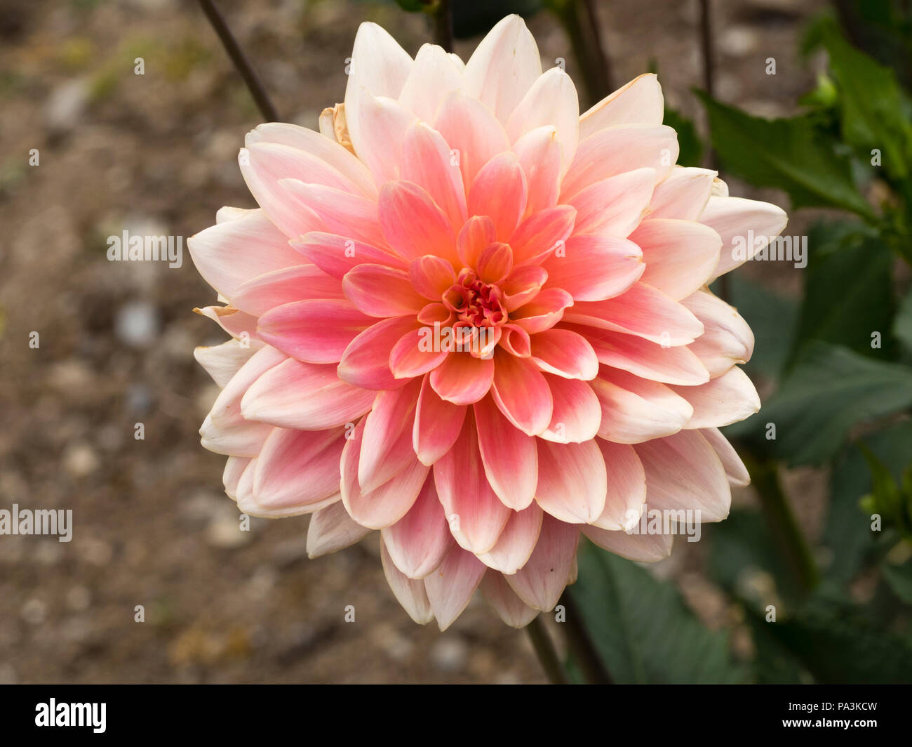 Pink, shading to yellow in the centre, flowers of the waterlily type dahlia, Dahlia 'Gerrie Hoek' - Stock Image