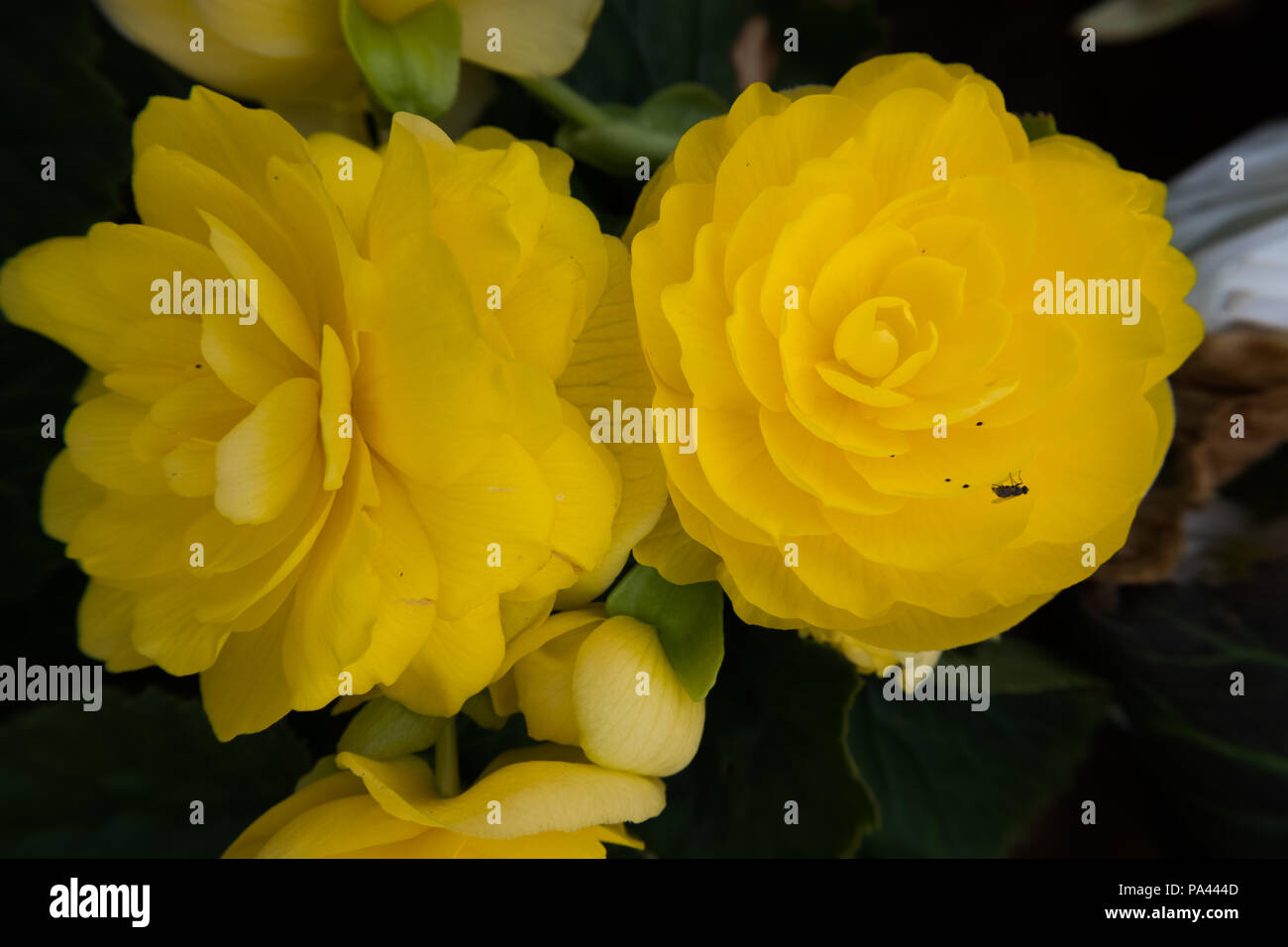 Yellow Rose Flower Wallpaper Background Beautiful Nature Image No