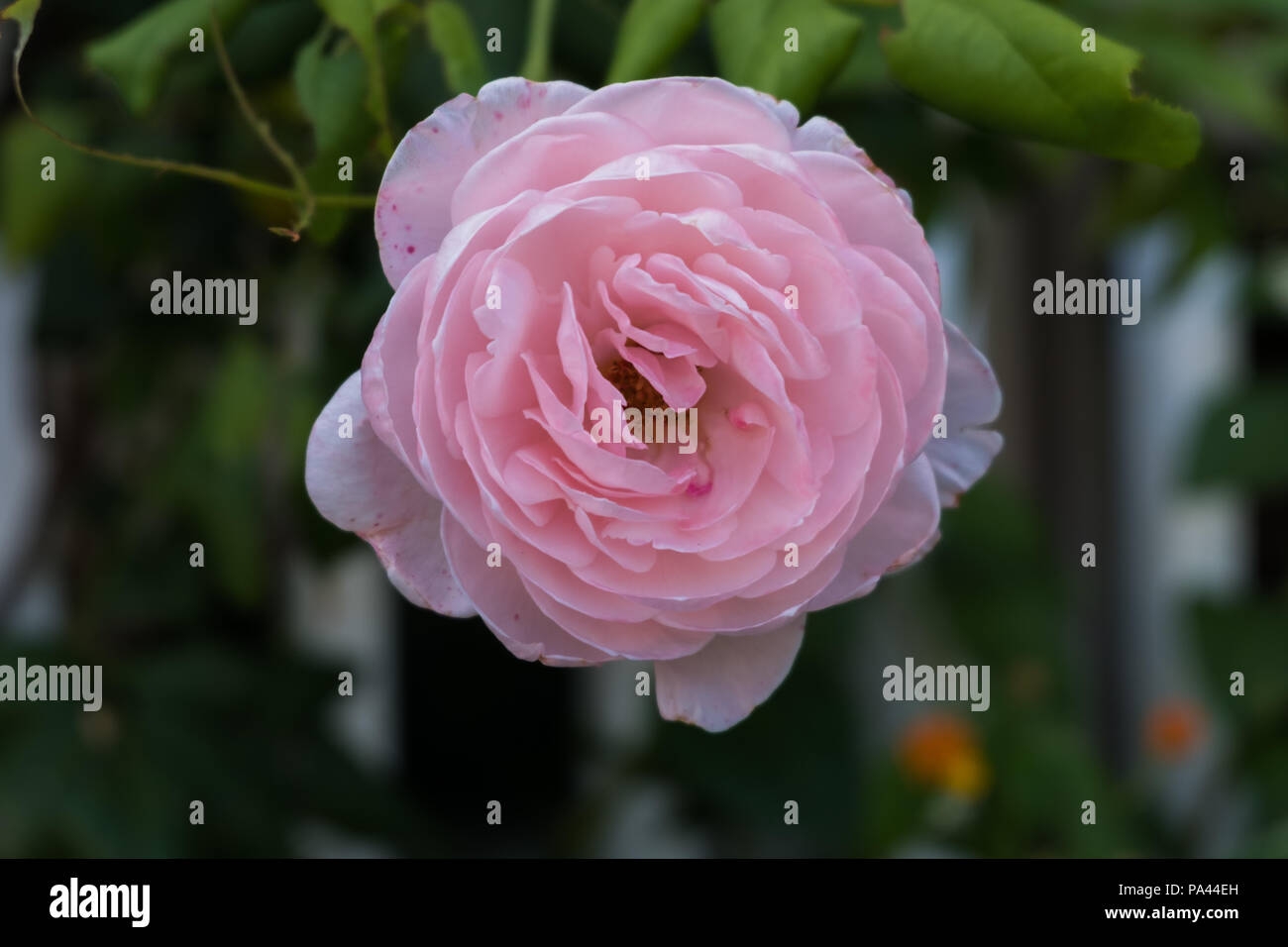 Pink Rose Flower Wallpaper Background Beautiful Image Of Nature