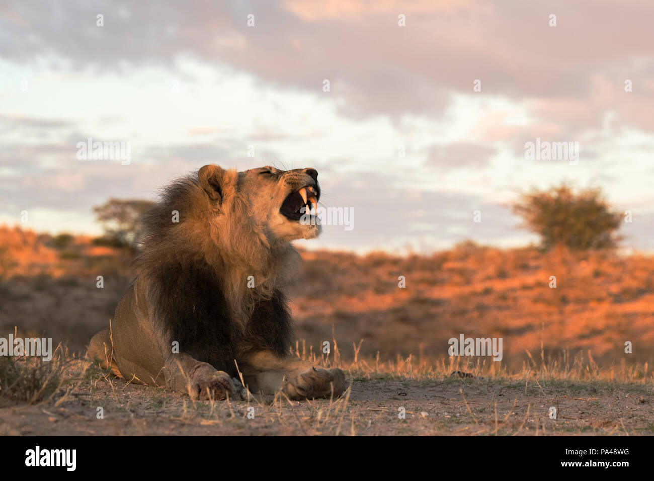 Lion (Panthera leo) male, Kgalagadi Transfrontier Park, South Africa, - Stock Image