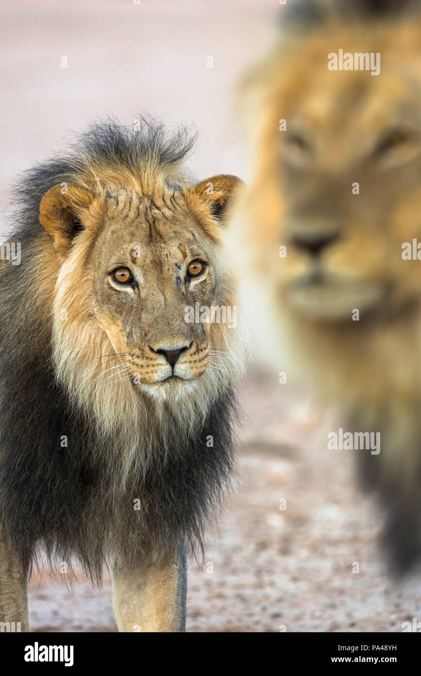 Lion (Panthera leo) brothers, Kgalagadi Transfrontier Park, South Africa, - Stock Image
