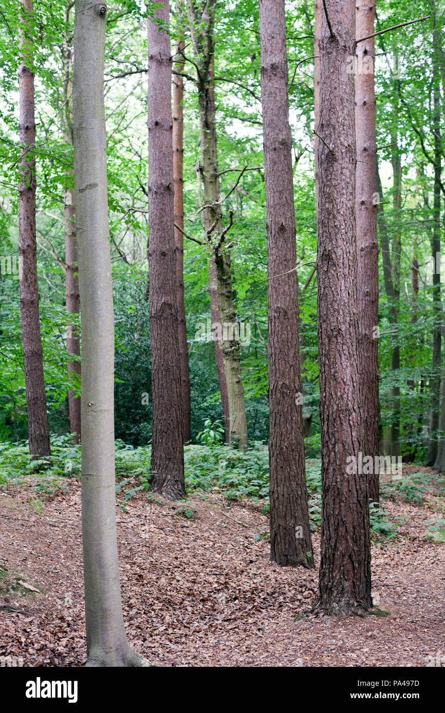 Thorndon Park, Brentwood, Essex, England, UK - Stock Image