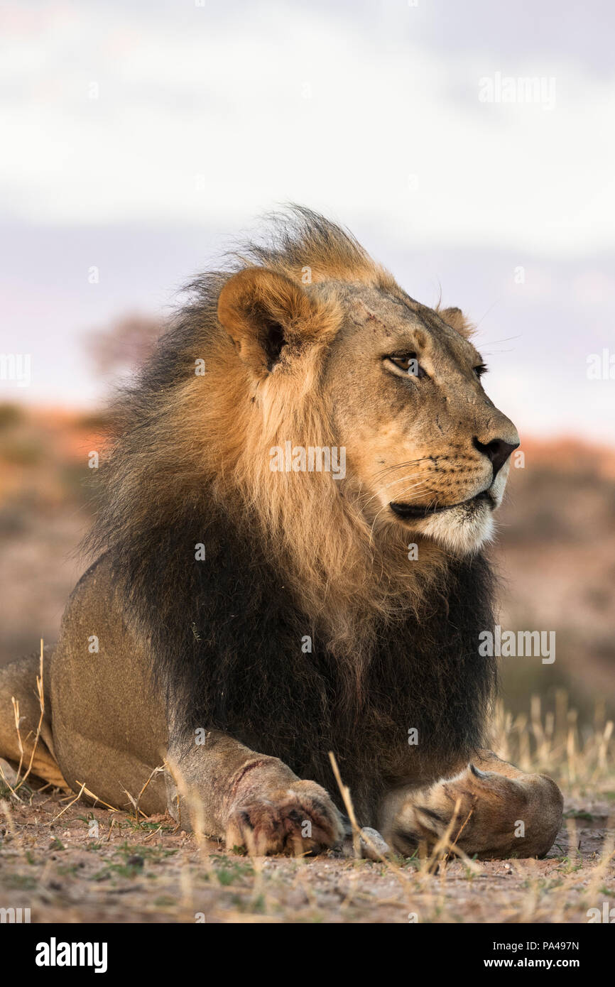 Lion (Panthera leo) male, Kgalagadi Transfrontier Park, South Africa, January 2018 - Stock Image