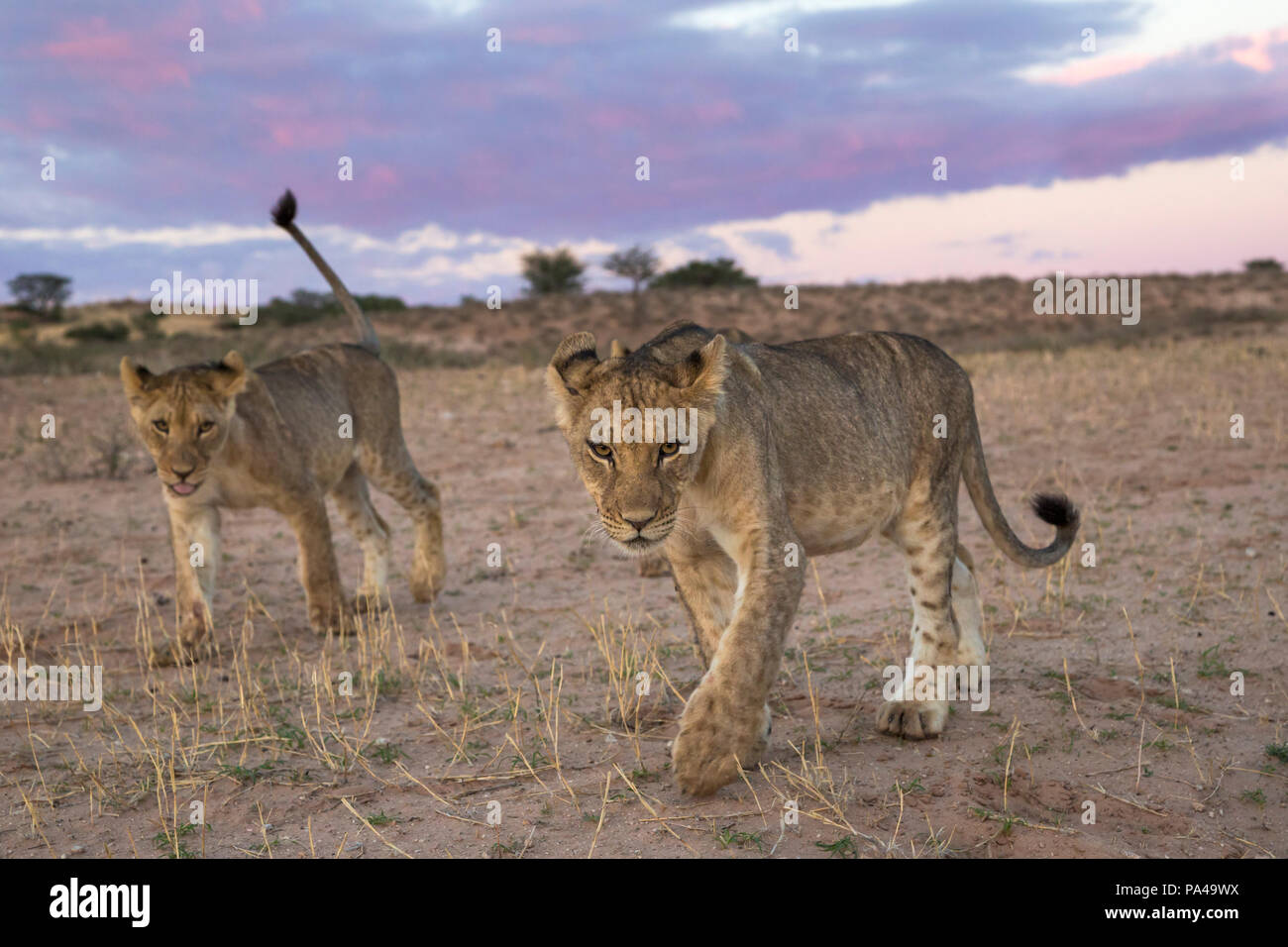 Young lions (Panthera leo), Kgalagadi Transfrontier Park, South Africa, - Stock Image
