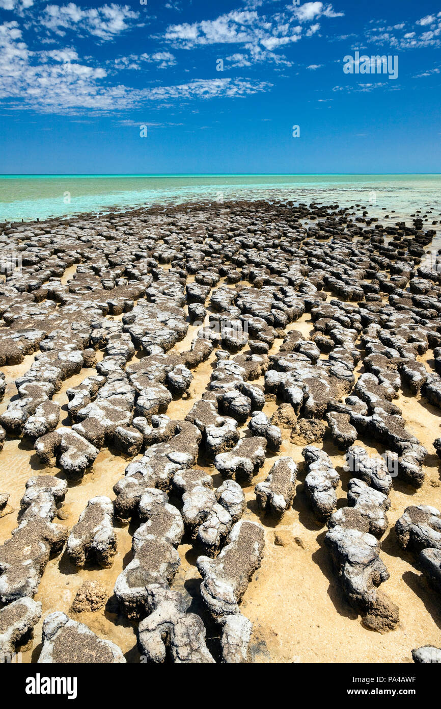 A photography of stromatolites at a sunny beach in Australia - Stock Image