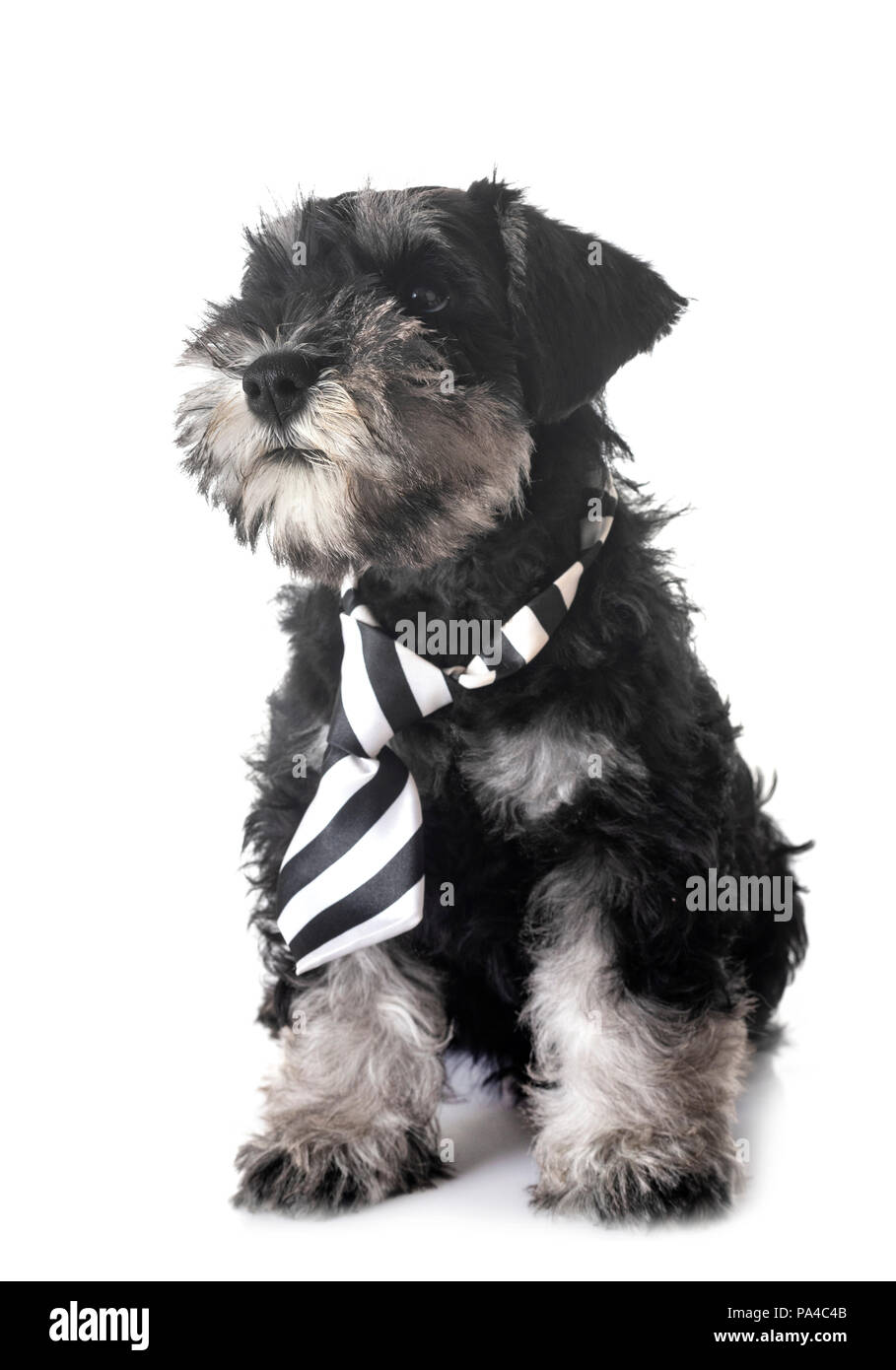 Miniature Schnauzer Black Silver Puppy Cut Out Stock Images