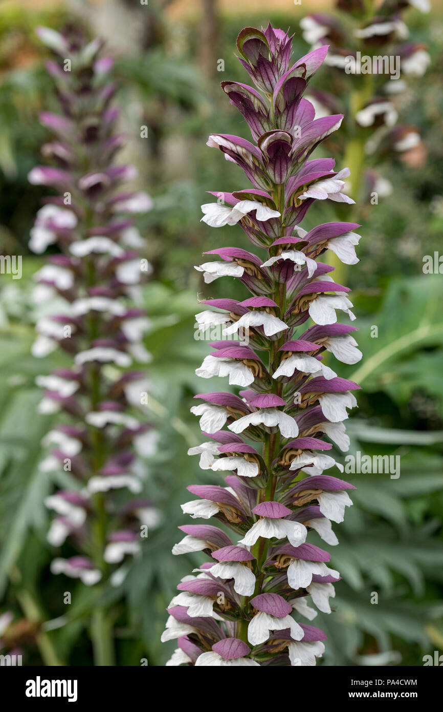 Tall purple and white flowers acanthus mollis sea dock or bears tall purple and white flowers acanthus mollis sea dock or bears breeches mightylinksfo