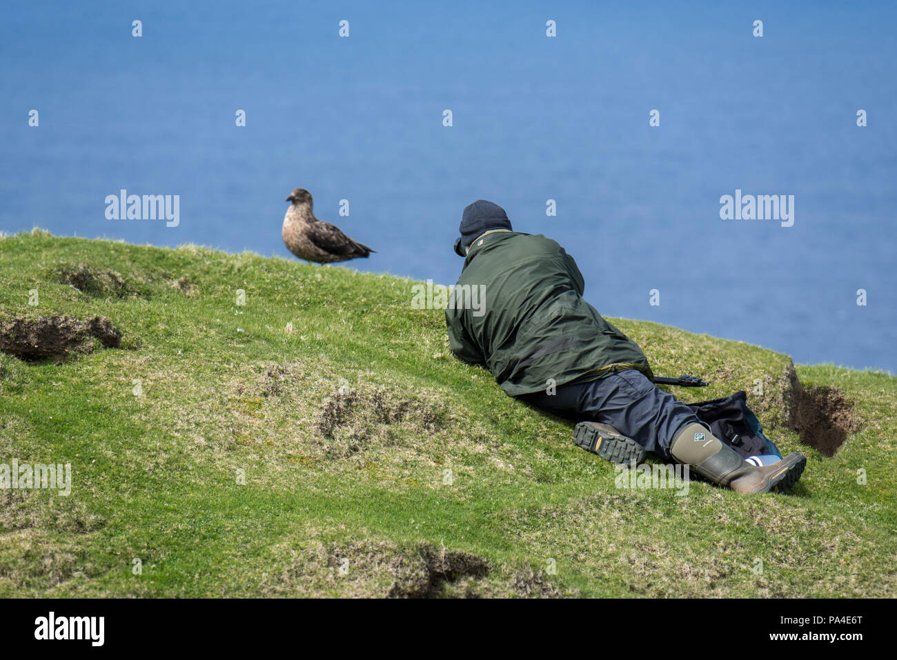 Birder / wildlife photographer taking pictures of great skua (Stercorarius skua) on clifftop at Hermaness, Unst, Shetland Islands, Scotland, UK - Stock Image