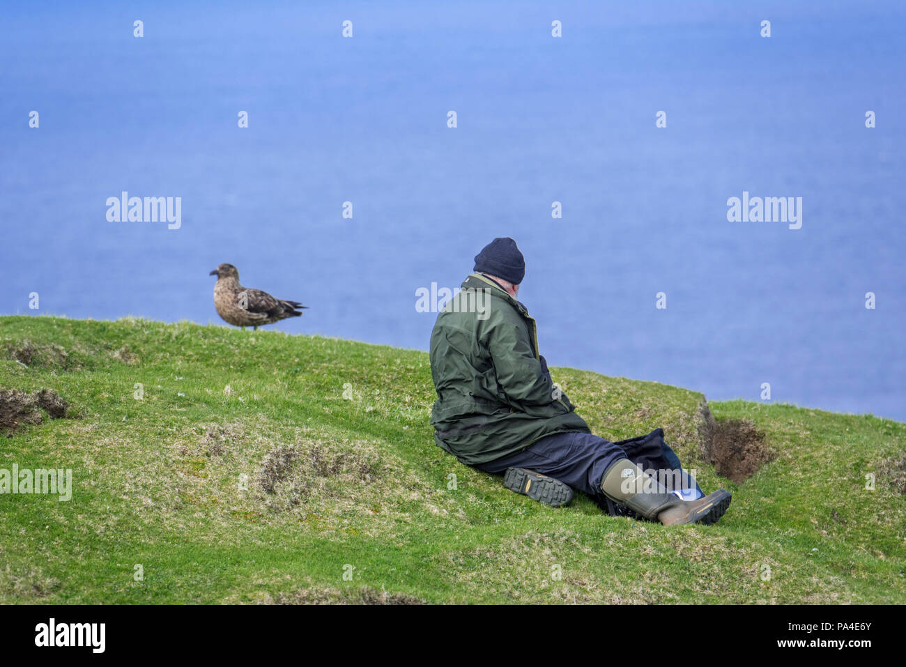 Birder / birdwatcher / bird watcher approaching great skua (Stercorarius skua) very close on clifftop at Hermaness, Unst, Shetland Islands, Scotland - Stock Image