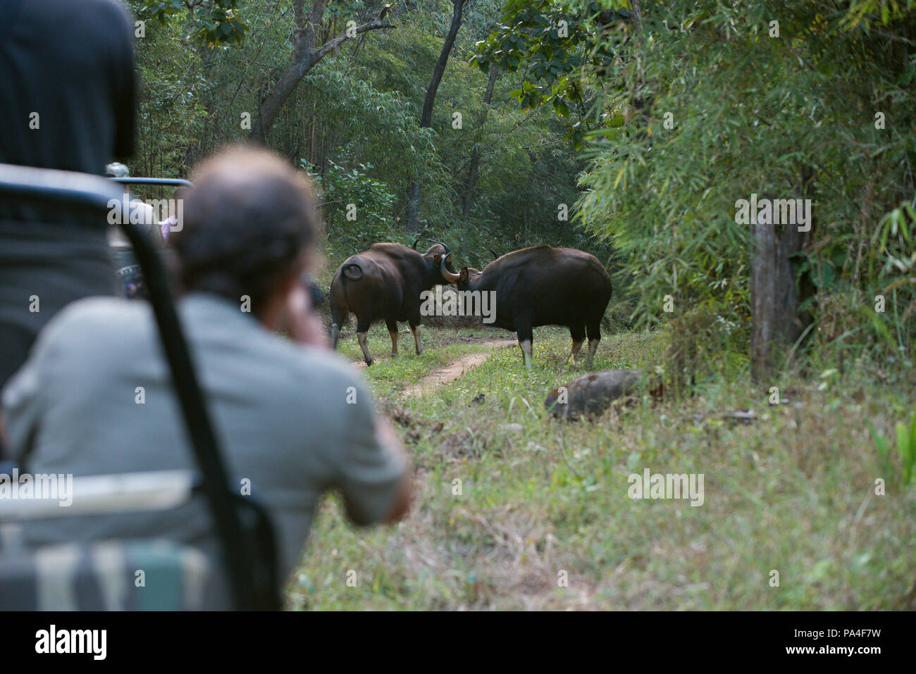 Two buffalos in the road fighting and watched by a tourist jeep with tourist passengers on a game drive in Bandhavgarh National Park, India - Stock Image