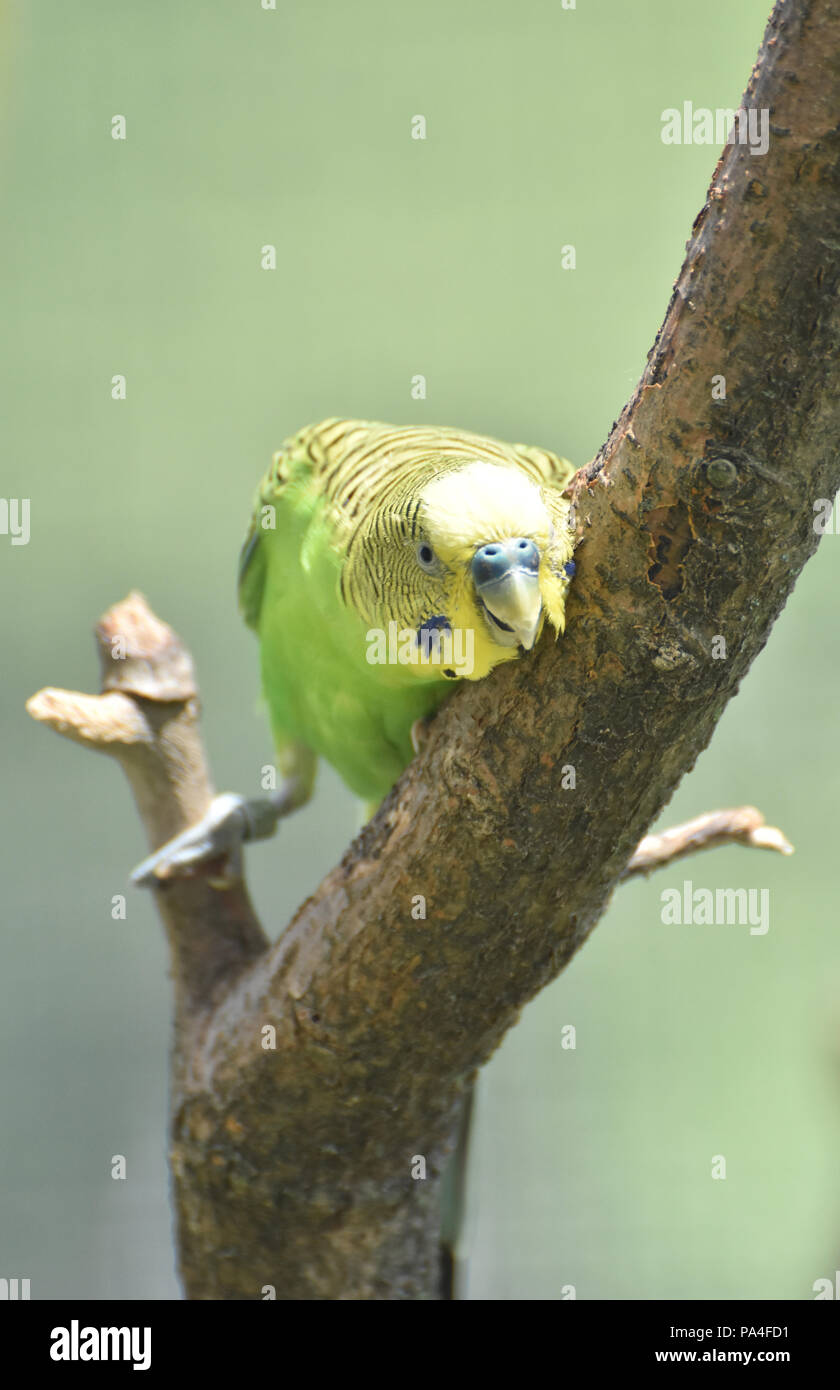 Very pretty parakeet squaking in a tree perch. - Stock Image