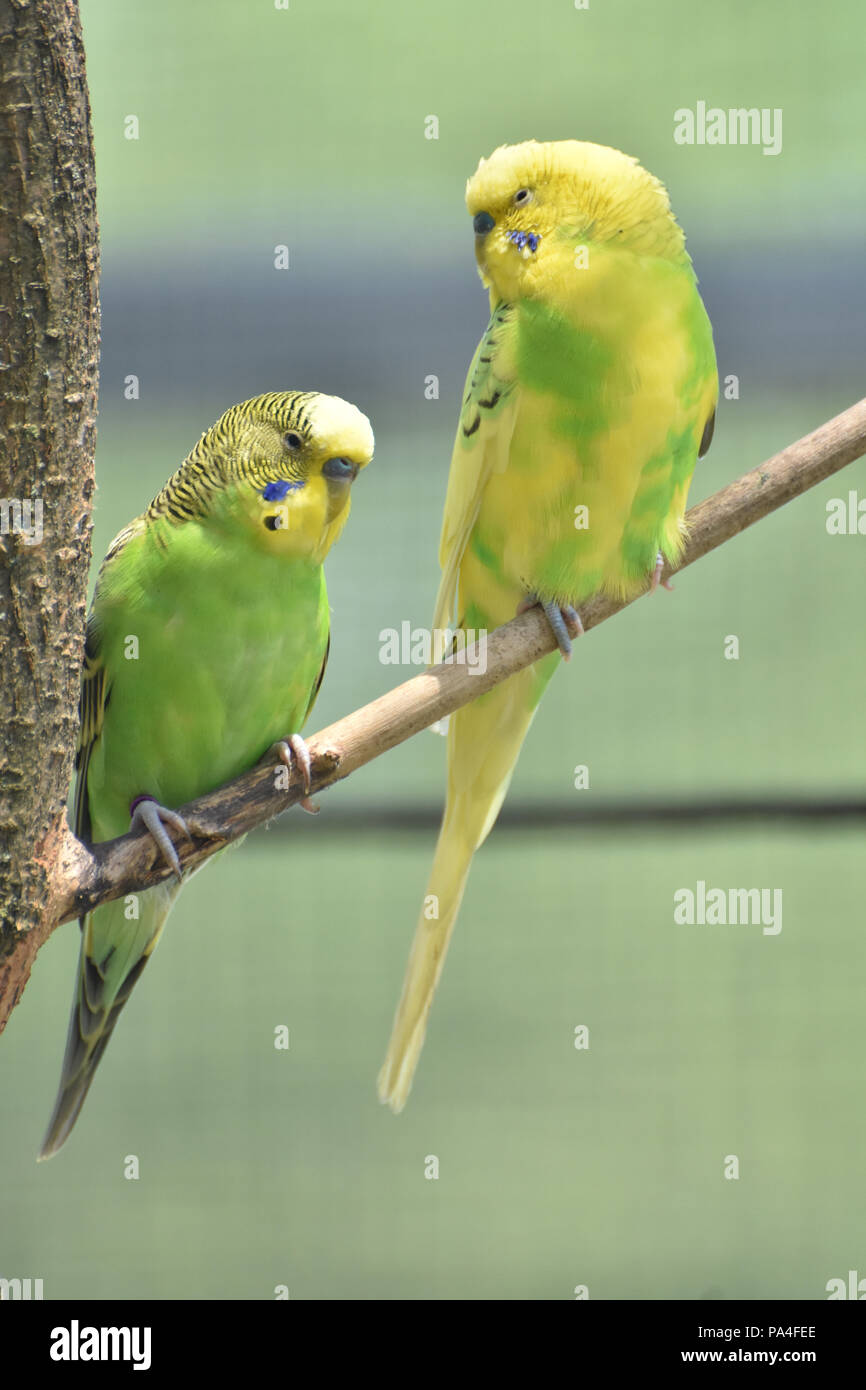 Budgie pair on a tree branch with lots of color. - Stock Image