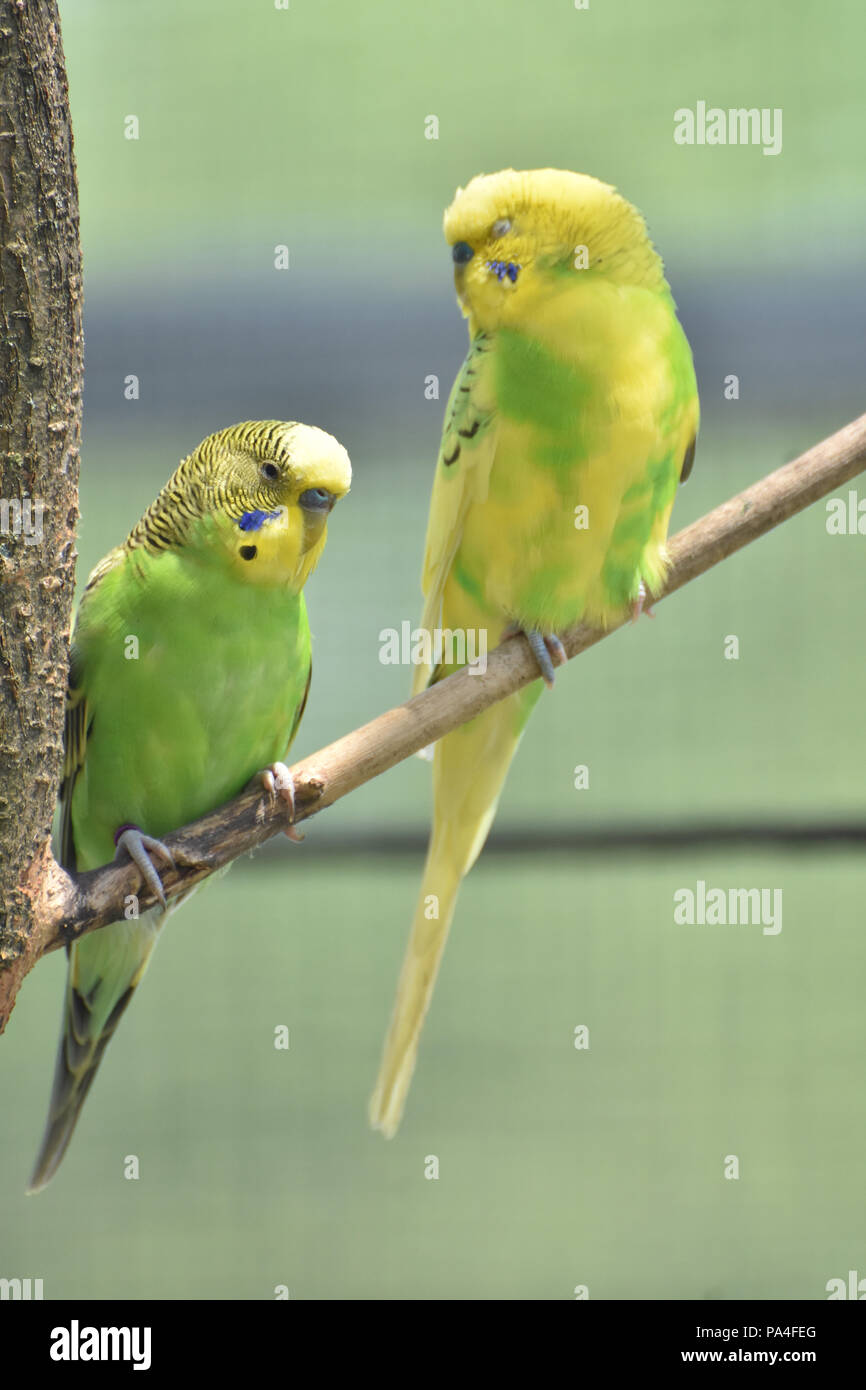 Two budgies sitting together posing in a tree. - Stock Image