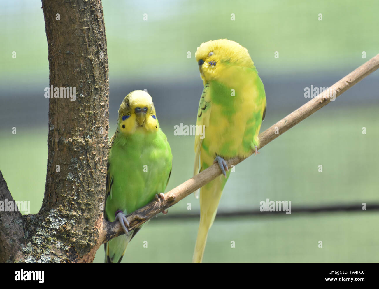 Branch with a pair of budgies sitting together. Stock Photo