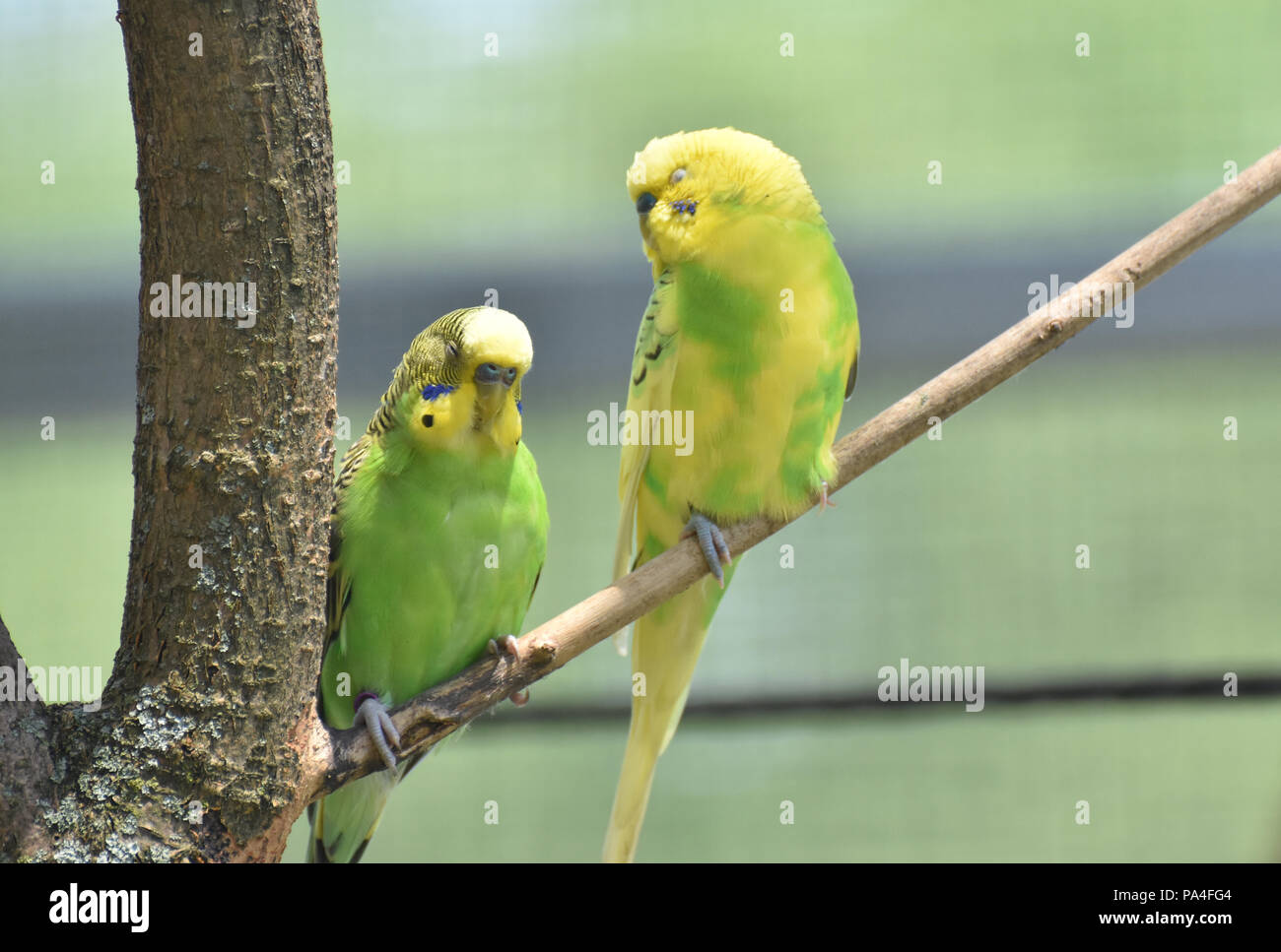 Two yellow and green parakeets sitting on a tree branch. - Stock Image