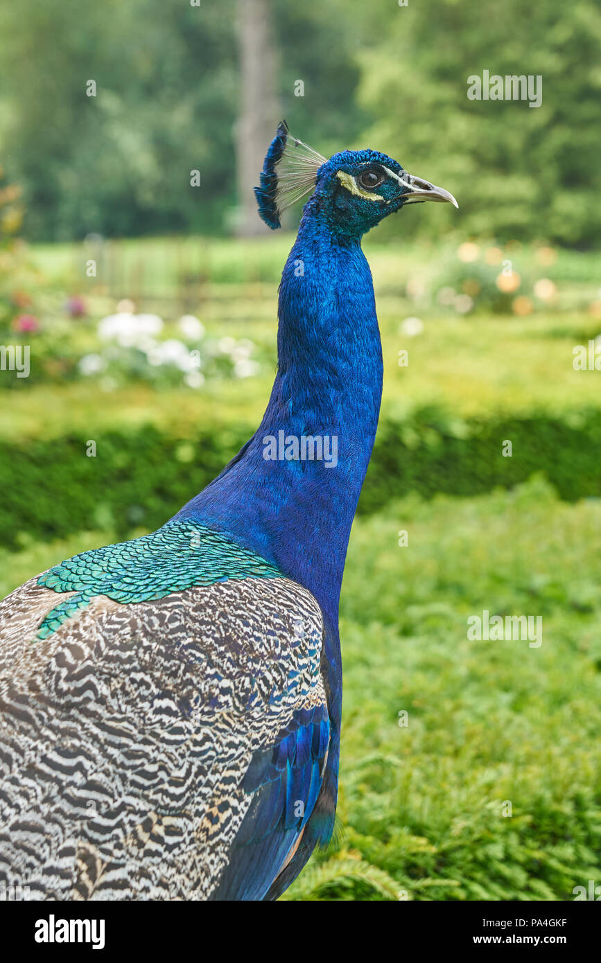 ornamental peacock   Pavo cristatus - Stock Image