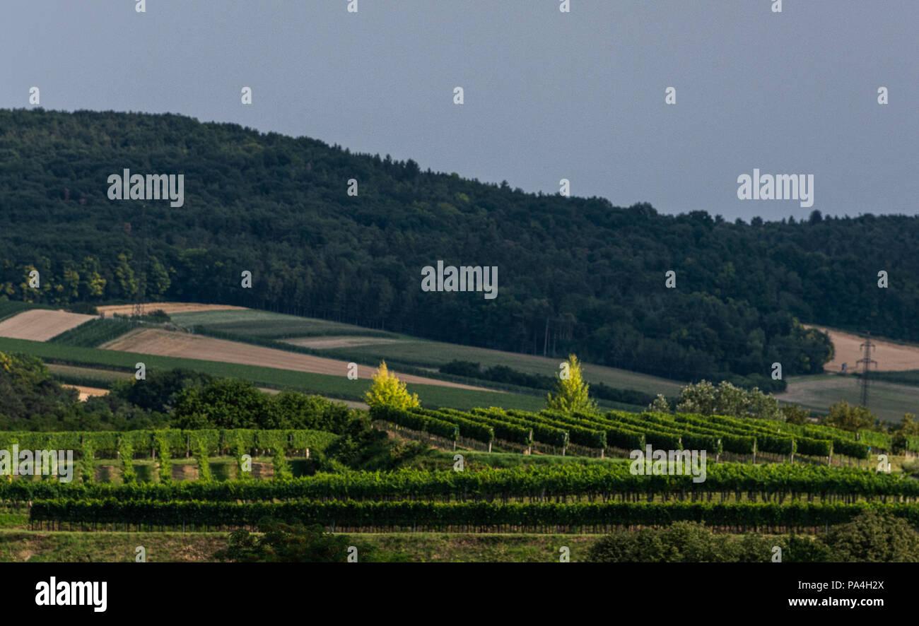 Grüner Veltliner in Gottschelle vineyard of Furth-Palt, Kremstal, Lower Austria, Austria Stock Photo