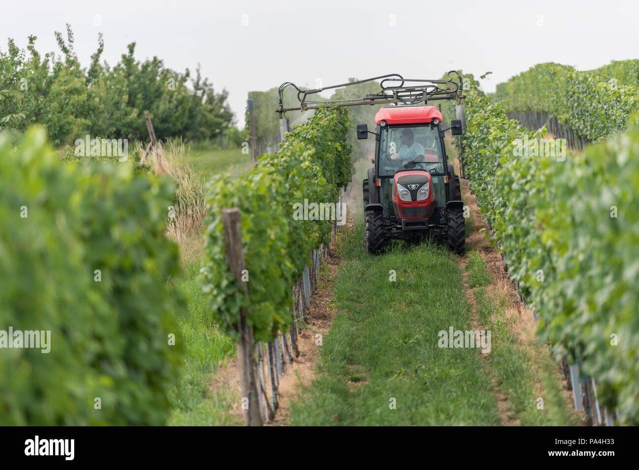 viticulture at Furth-Palt, Kremstal, Lower Austria, Austria Stock Photo