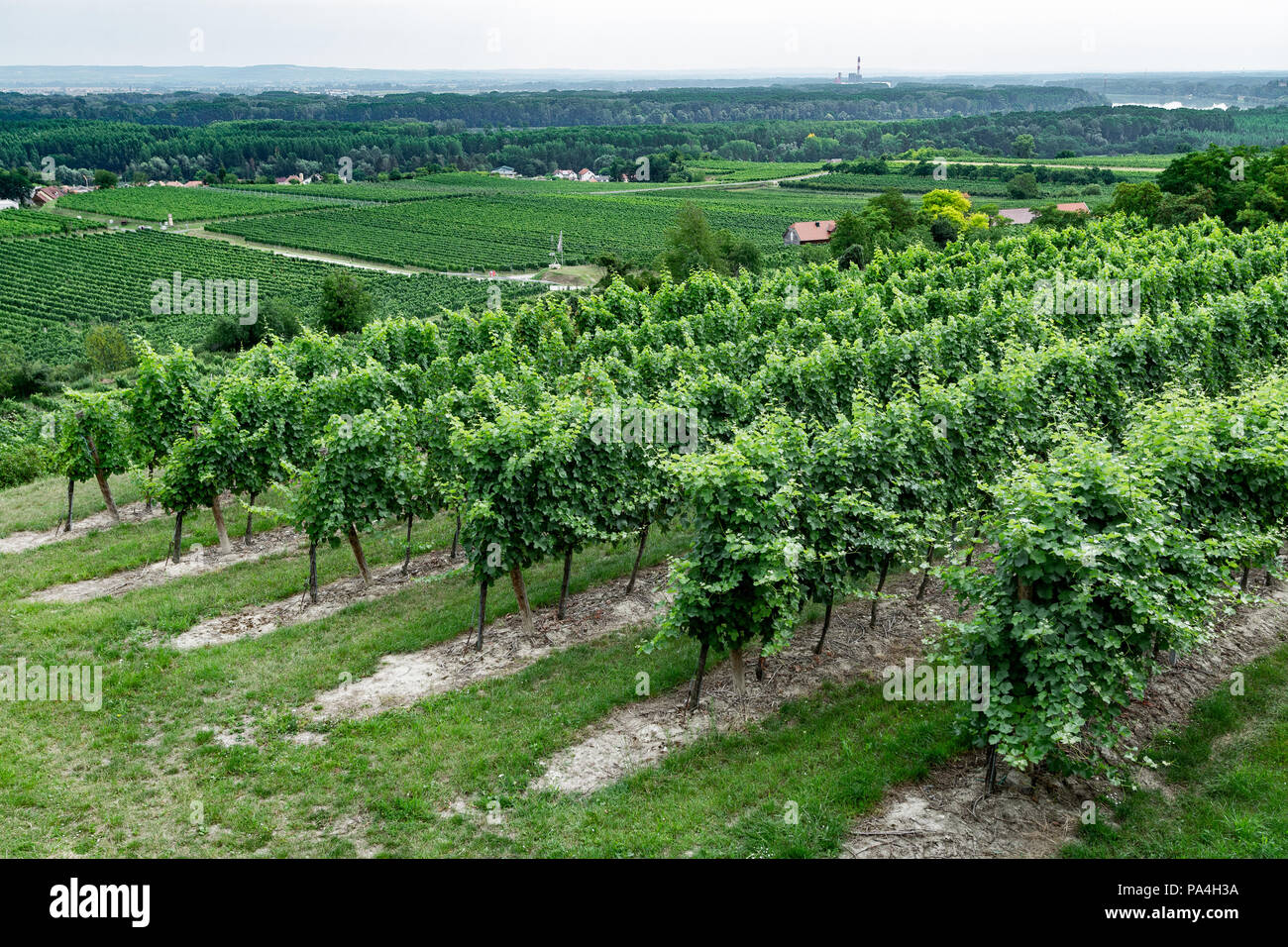 viticulture at Hollenburg, Kremstal, Lower Austria, Austria Stock Photo