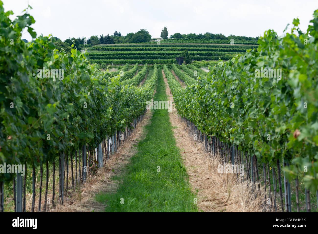 viticulture at Furth-Palt, Lower Austria, Austria Stock Photo