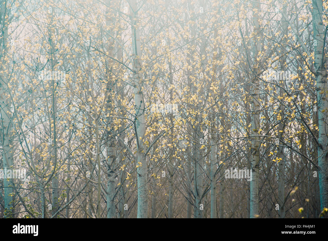 Early spring and light shines through birch trees. Edited with a muted Instagram look. - Stock Image