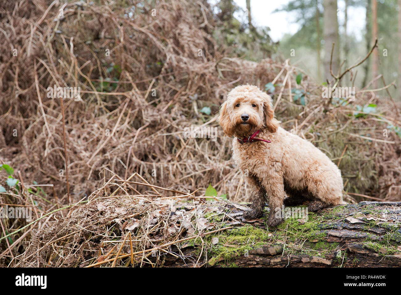 Cockerpoo playing in the wood - Stock Image